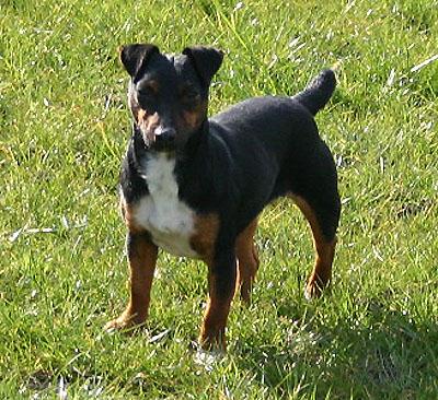 schwarzer jack russell terrier